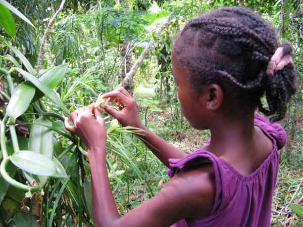 Stories Of A Vanilla Garden At Work In Madagascar